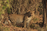 Leopard. Wild male Leopard in East Africa - 163475729