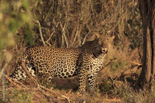 Fototapeta Leopard. Wild male Leopard in East Africa