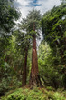 Dramatic vertical redwood tree