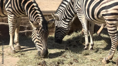 A group of zebras eating grass