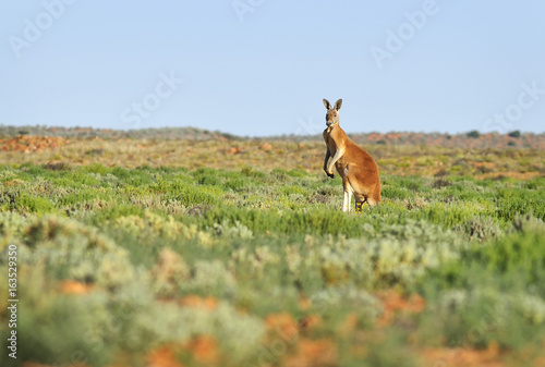 Aluminium Kangoeroe Red Kangaroo_Outback