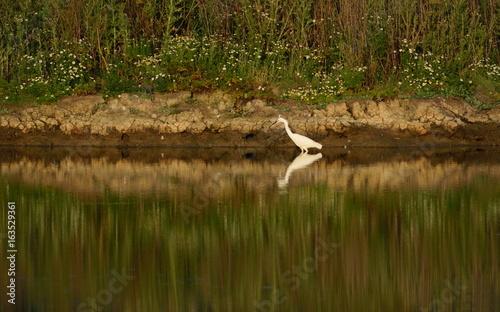 Little egret reflected in the water of Seaton Wetlands, Devon