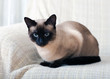 Siamese cat on a sofa at home.