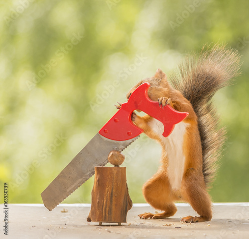 squirrel standing  with a saw and a nut - 163530739