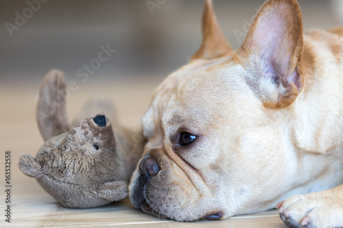 Young French Bulldog male resting next to his toy. A