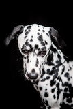 Dalmatian on the black background