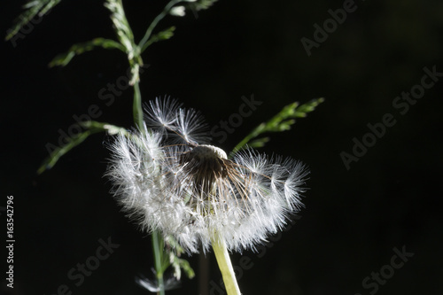 Dandelion seeds in the morning sunlight blowing away on a black background. © Alfira
