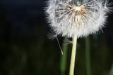 Dandelion tranquil abstract closeup art background. Beautiful blowball.