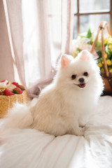Pomeranian on the bed