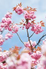 Kwitnące drzewo wiosną w ogrodzie