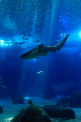 Shark swimming in a reef with blue ocean water