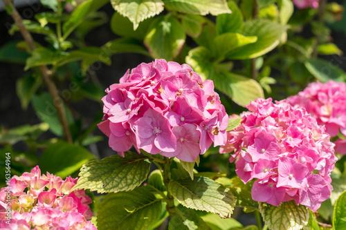 Hortensie im Garten in pink am blühen