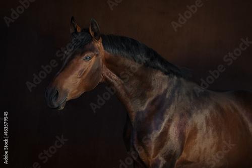 Bay horse on dark background