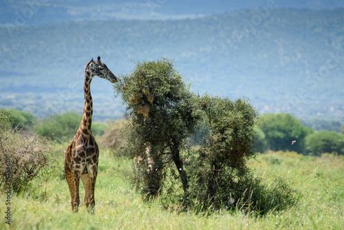giraffe and tree Poster
