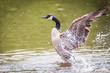 Canada Goose – Branta Canadensis