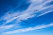 The pack of migratory birds flies