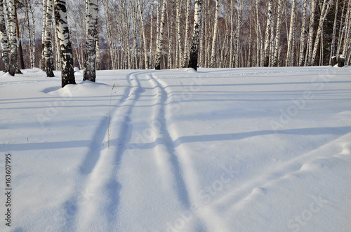 Sunny winter landscape in the snowy birch grove