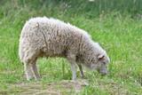 sheep grazing the grass  - 163610104