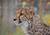 Close up side profile portrait of cheetah - 163615755