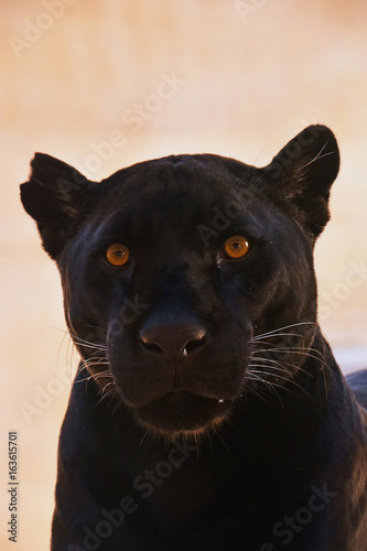Aluminium Panter Close up portrait of black jaguar (Panthera onca)