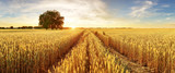 Gold Wheat flied panorama with tree at sunset, rural countryside - 163616908