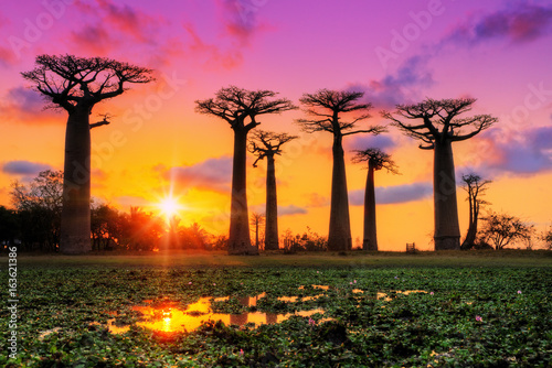 Aluminium Baobab Beautiful Baobab trees at sunset at the avenue of the baobabs in Madagascar