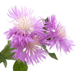 Lilac flower asters - 163631587