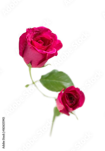 Pink rose with leaves isolated on white background for valentine's day or romantic event.(selective focus)