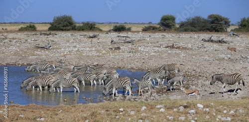 Zebras drinking water at waterhole, Etosha National Park, Namibia