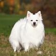 Portrait of nice white spitz