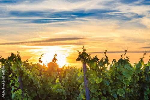 Weinberg im goldenen Sonnenuntergang