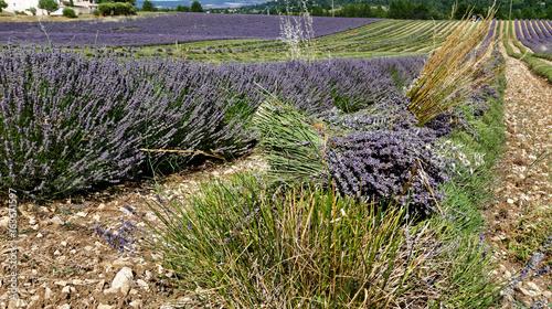 Fotobehang Lavendel Lavande moissonner