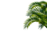 Palmenblätter, palme freigestellt vor weißem hintergrund - 163677353