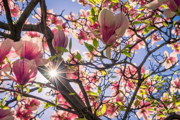 agnolie Blüte im Frühling
