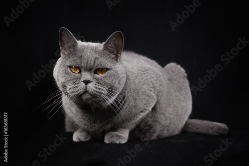 Gray shorthair British cat  on a black background Poster