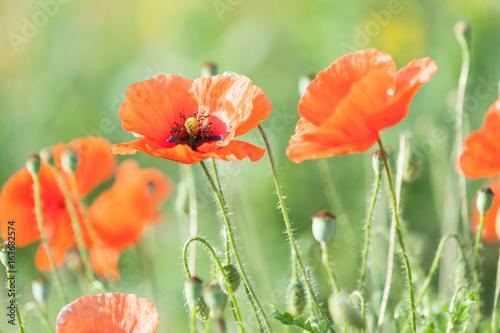Poppy in a meadow