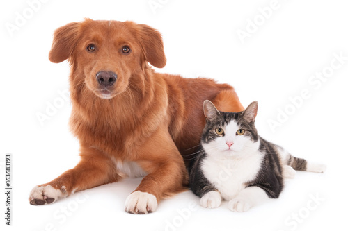 Fotobehang Kat Nova Scotia duck tolling retriever dog and a cat lying together. Isolated on white.