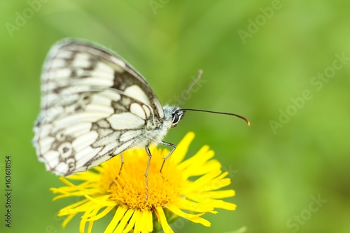 Butterfly on yellow flower.