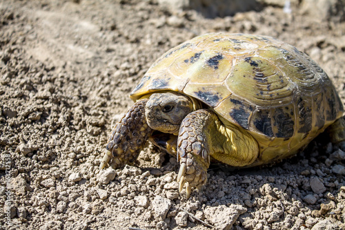 Steppe tortoise in nature