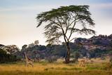 Żyrafy w polu późnym popołudniem pod dużym drzewem
