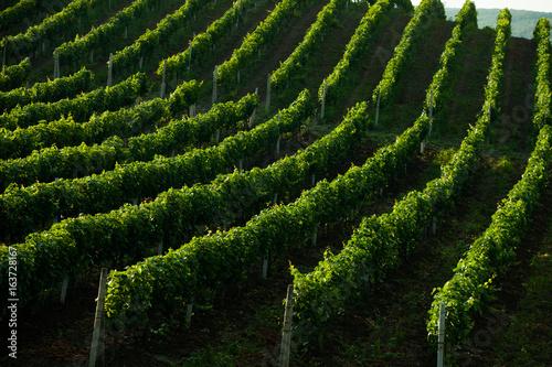 Papiers peints Noir Rows of Vineyard Grape Vines. Summer landscape with green vineyards. Grape vineyards in Moldova.