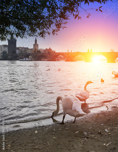 Prague. Swans on the Vltava River and Charles Bridge on a background..