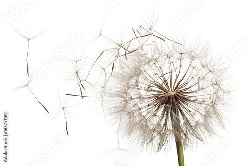 White fluffy flower Tragopogon dubius, yellow salsify, wild oysterplant, goat`s beard, and seeds on white background. Big dandelion - 163771162