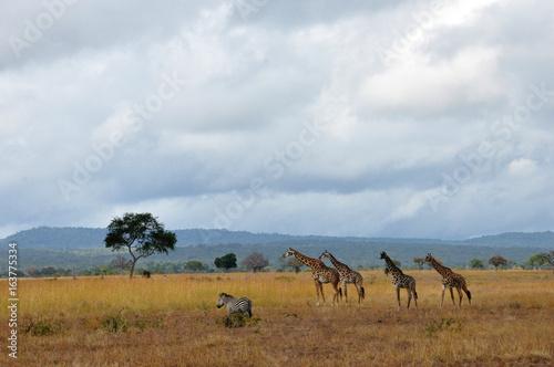 Troupeau sauvage, Tanzanie