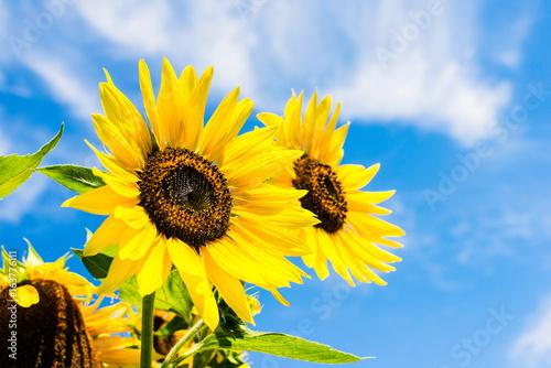 Fototapeta sunflower over blue sky - sunny day summertime good weather concept