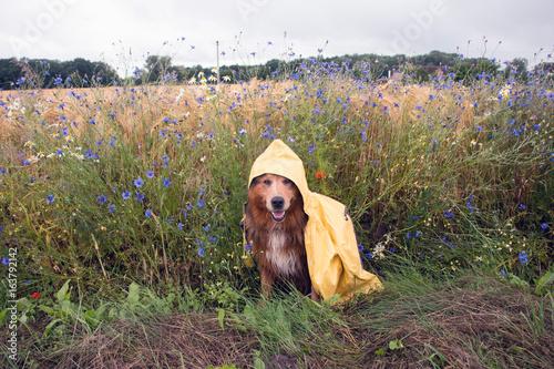 Hund im Regenmantel im Sommer bei schlechtem Wetter sitzt  vor Kornblumen