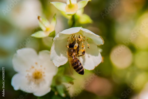 Honey bee on flowers - 163805171
