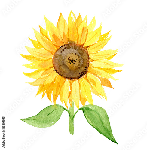 Fototapeta Sunflower isolated on white background, watercolor illustration