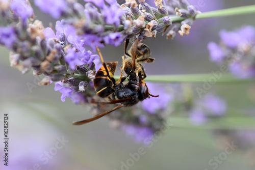 Fotobehang Lavendel frelon asiatique qui tue une abeille