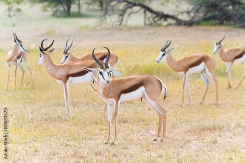 eine Herde von Springböcken, Antidorcas, im Kgalagadi-Transfrontier-Nationalpark, Auob Tal, Südafrika